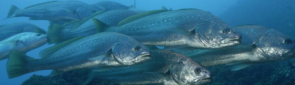 Jewfish by John Natoli