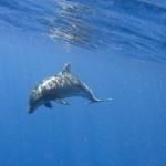 Dolphin at Windarra Banks by Kristie Gratton