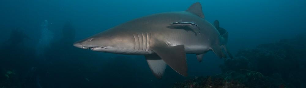 Blue Bay Divers Byron Bay - Grey Nurse Shark by John Natoli