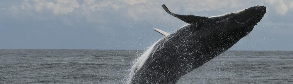 Breaching Whale by John Natoli